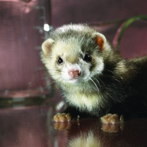 NOV-Ferret(Small)