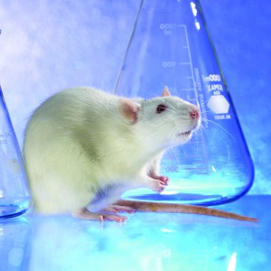Rat Supplies at Lab Supply www.labsupplytx.com #rats